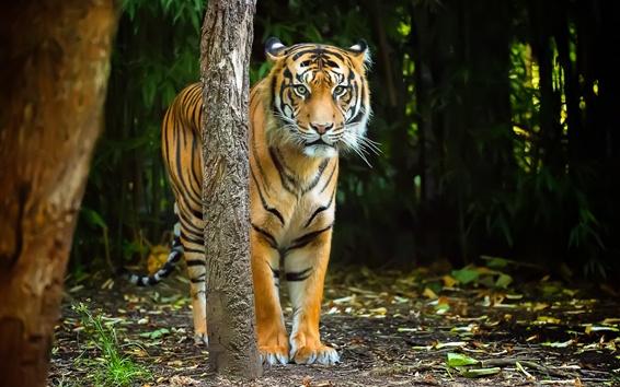 壁紙 タイガーはあなたを見ます、木、縞