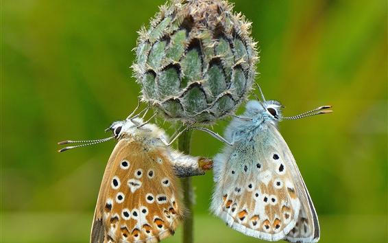 Papéis de Parede Duas borboletas, flor