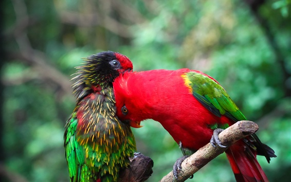Wallpaper Two parrots, colorful feathers, friends