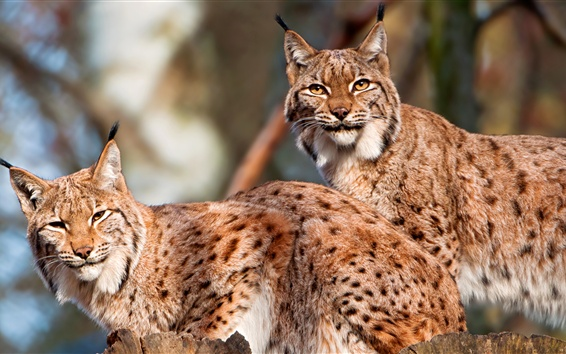 Wallpaper Two wild cats, lynx