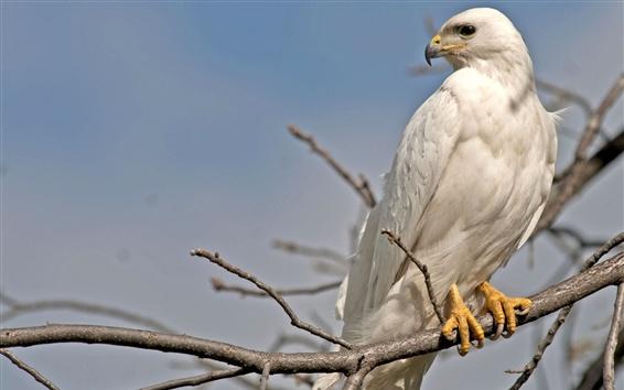 Papéis de Parede Águia de penas brancas
