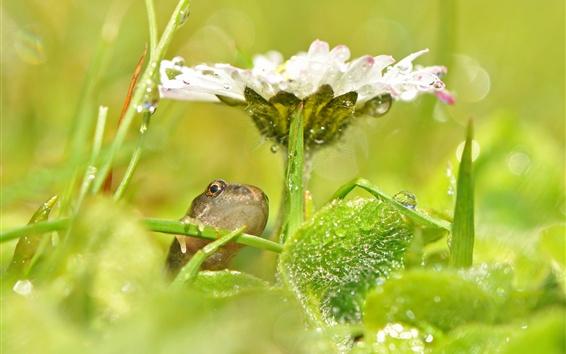 Papéis de Parede Flor branca, folhas verdes, rã, gotas de água