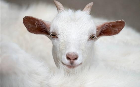 Wallpaper White goat front view