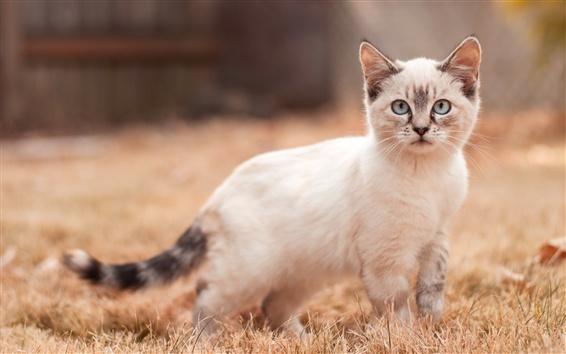 Papéis de Parede Caminhada de gatinho branco, olhar