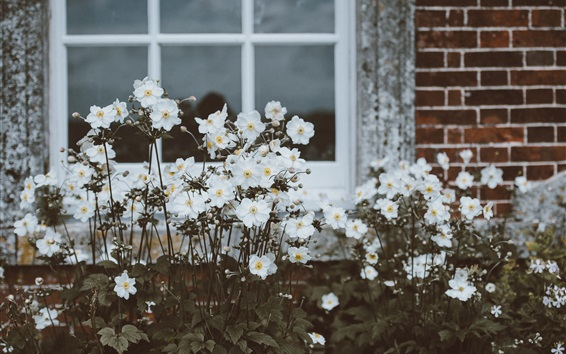 Wallpaper Window, white flowers