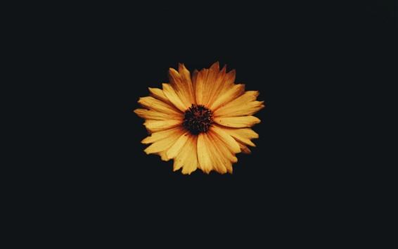 Papéis de Parede Close-up de flor amarela, fundo de escuridão