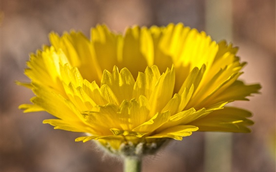 Wallpaper Yellow flower close-up, petals
