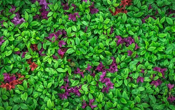 Papéis de Parede Azálea, folhas verdes, flores roxas