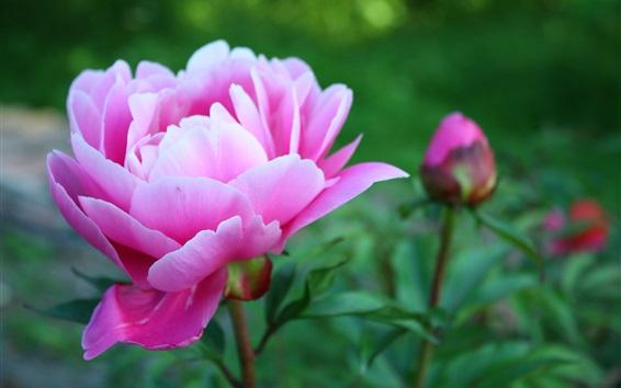 Fond d'écran Belle fleur de pivoine rose, pétales, jardin