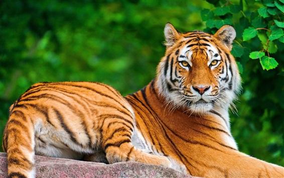 Papéis de Parede Grande gato, olhar tigre, descanse