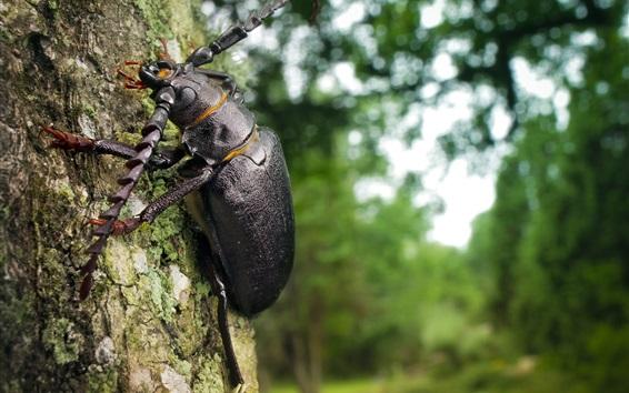 Fond d'écran Coléoptère noir, insecte