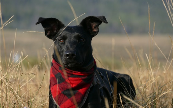 Wallpaper Black dog, scarf, grass