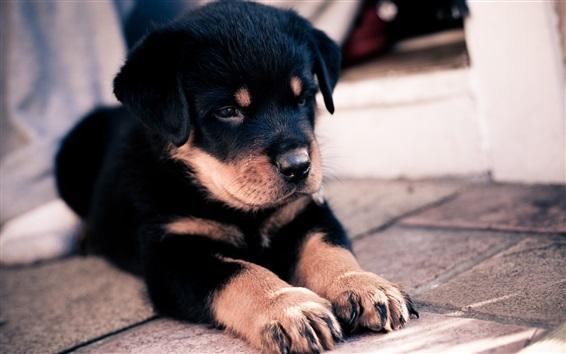 Wallpaper Black puppy, paws