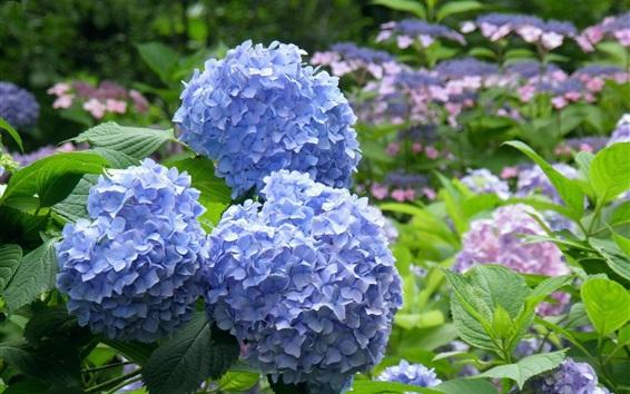 Wallpaper Blue hydrangea flowers, park