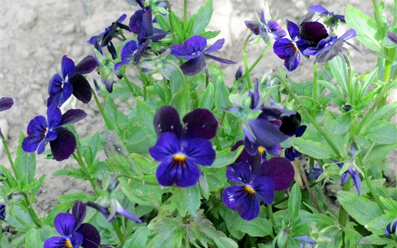 Wallpaper Blue pansies flowering