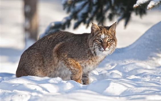Wallpaper Bobcat in the snow, winter