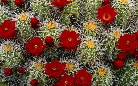 배경 화면 선인장 붉은 꽃