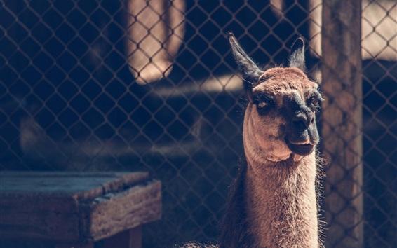 Wallpaper Camel look, fence, zoo