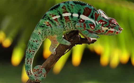 Papéis de Parede Camaleão, colorido, vara