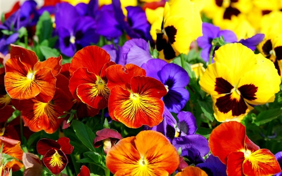 Wallpaper Colorful pansies, beautiful flowers