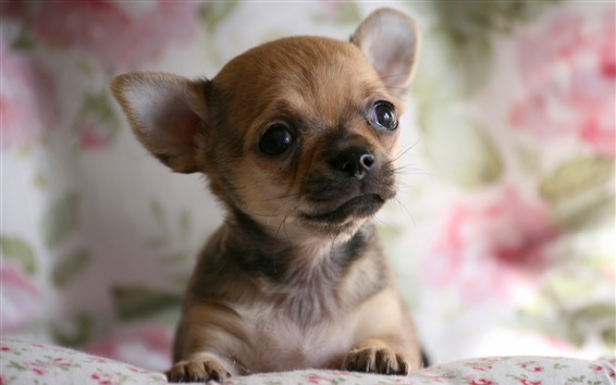 Wallpaper Cute Chihuahua dog, face, doggy