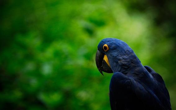 Wallpaper Dark blue parrot, green background