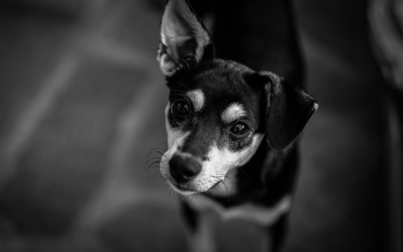 Wallpaper Dog look at you, black and white picture