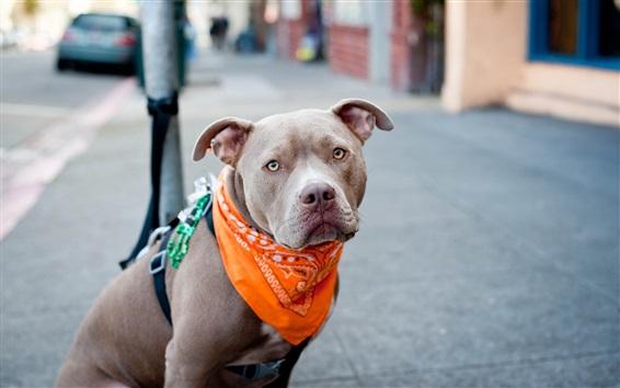 Wallpaper Dog, scarf, humor