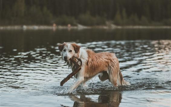 Wallpaper Dog walk in water, stick