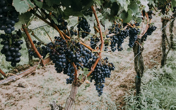 Wallpaper Grapevine, ripe black grapes