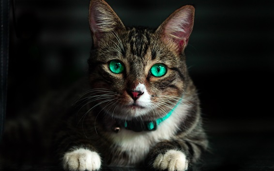Wallpaper Green eyes cat front view, look
