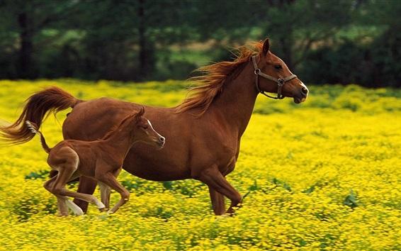 Fond d'écran Chevaux en cours d'exécution dans le champ de fleurs jaunes