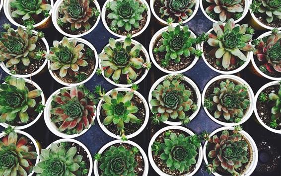 Fond d'écran Plante d'intérieur, plantes en pot charnues