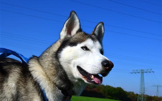 Papéis de Parede Cão ronco, céu azul, fio