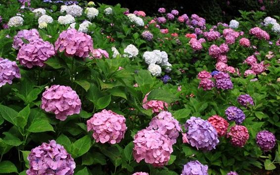 Papéis de Parede Flores de hortênsia, rosa, roxo, branco, azul