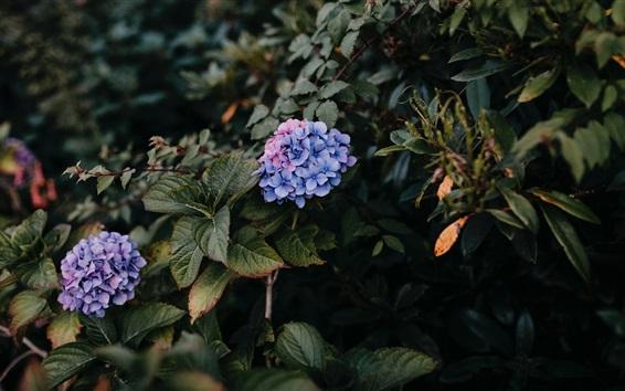 壁紙 紫陽花、紫色の花、茂み、葉