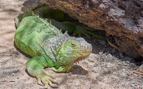 Papéis de Parede Iguana, lagarto, olhar para cima, verde