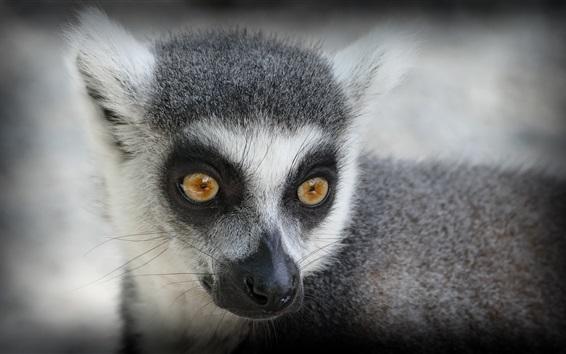 Papéis de Parede Olhar de Lemur
