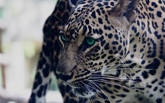 Papéis de Parede Leopard, look, green eyed