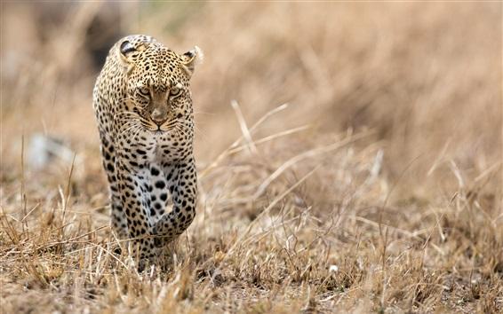 Papéis de Parede Leopardo andando na grama, vida selvagem