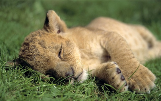배경 화면 사자 새끼 자고