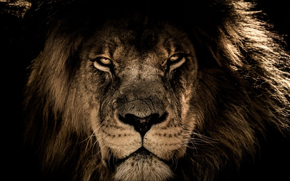 Wallpaper Lion face, predator, look, wildlife