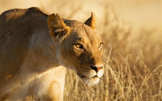 Wallpaper Lion hunting