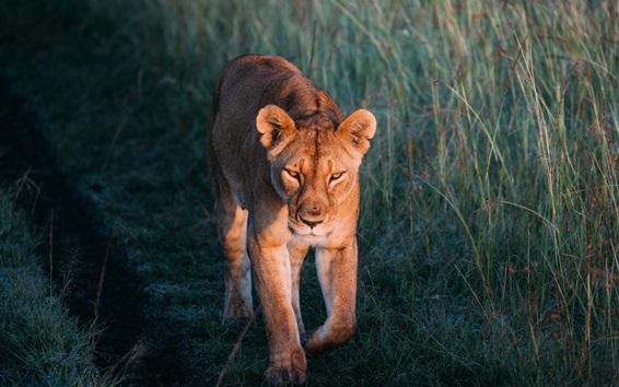 Wallpaper Lioness walk, grass, wildlife