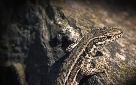 Wallpaper Lizard, reptile, stone