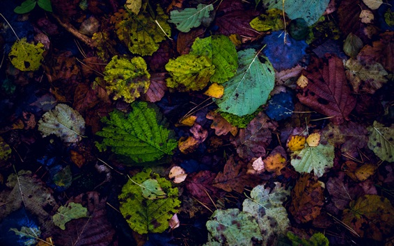 Wallpaper Many fallen leaves, colorful, ground, autumn