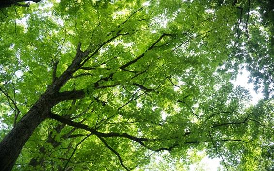 Обои Кленовое дерево, зеленые листья, ветки