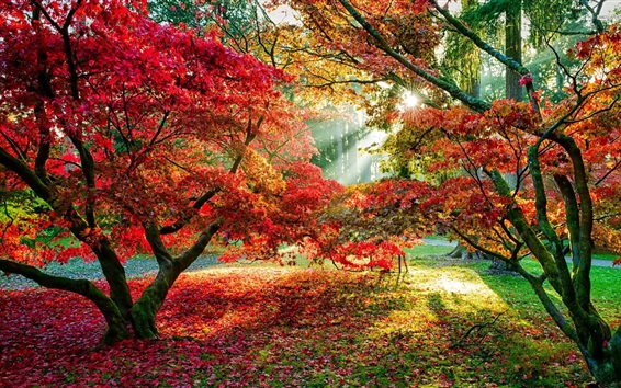 Wallpaper Maple trees, red leaves, sun rays, autumn