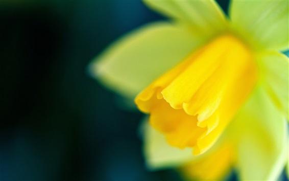 Fond d'écran Narcisse focus, fleur jaune