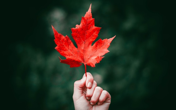 Wallpaper One red maple leaf, hand